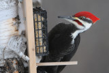 Pileated Woodpecker at suet feeder