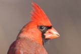 Cardinals and Grosbeaks