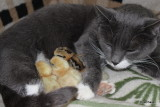 Mulle's  kyllinger 2011