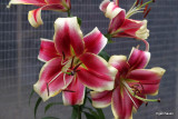 Lilium Holland Beauty