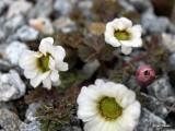 Callianthemum anemonoides