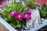Primula Allionii  Old Red Dusty Miller