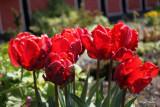 Tulipa Rococo