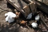 Mille med sin flok kyllinger Antwerper og Silkekyllinger