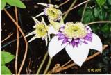 Floribunda Bicolor.