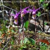 Calypso Orchids at Emerald Lake