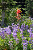 Lupin and Paintbrush - Meadows in the Sky Parkway