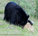 Black Bear looking for insects
