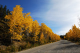 Autumn aspen along Maligne Lake Road