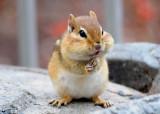 Chipmunk - female