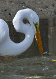 Great Egret fishing - Success!  6 of 6