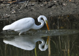 Great Egret fishing - 5 of 6