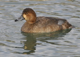 Redhead Duck female