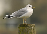 Common Gull 2