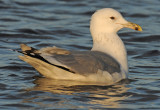 Caspian Gull 4e winter 2