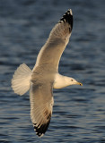 Caspian Gull 4e winter 3