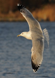 Caspian Gull 4e winter 6