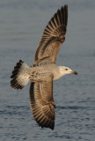 Caspian Gull 1e winter 6