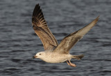Caspian Gull 1e winter 7