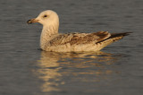 Caspian Gull 1e winter 8