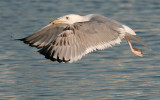 Caspian Gull 3e winter 1