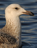 Caspian Gull 1e winter 9