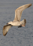 Caspian Gull 1e winter 10