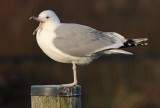 Caspian Gull 4e winter 18