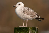 Caspian Gull 1e winter 12