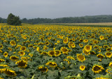 Gibbs Sunflower Farm, Allamuchy NJ