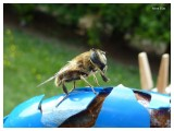 Solitary bee-fly
