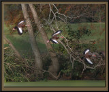 Whistling ducks on the wing