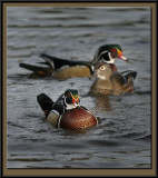 More audubon winter Woodies