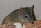 Yellow-footed Antechinus, Antechinus flavipes