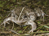 Spotted Marsh Frog Limnodynastes tasmaniensis