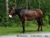 winchester - 5yo, 17h percheron mule