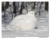 Lagopède des saules - Willow Ptarmigan