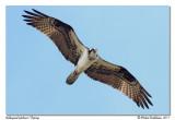 Balbuzard pêcheur  Osprey
