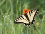 Papillons & Libellules - Butterflies & dragonflies