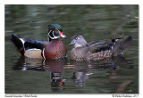 Canards branchus  Wood Ducks
