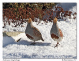 Perdrix grise - Gray partridge