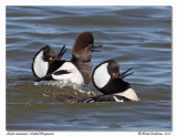 Harles couronnésHooded Mergansers