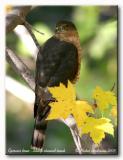 Épervier brun - Sharp shinned hawk