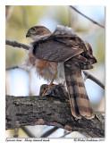 Épervier brun  Sharp shinned hawk