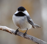 The Chickadee Two