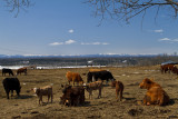 Young Calfs in the Foothills