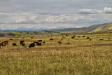 Ranching in the Foothills of Alberta