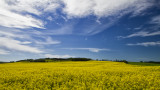 Canola Fields of Alberta