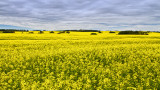 Canola Fields of Alberta two