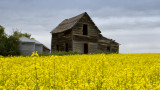 Canola Fields of Alberta three